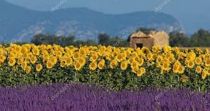 лаванды и подсолнечника в Провансе, Франция