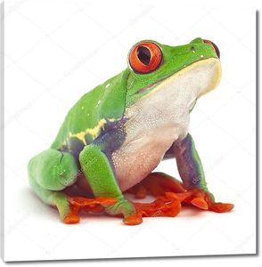 Красноглазая зеленая лягушка