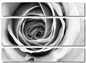Черно-белые лепестки роз