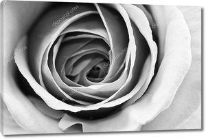 Черно-белые, красивые, тонкие лепестки роз