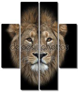 Глава азиатского льва, изолированные на черном фоне. Царь зверей, большой кошкой в мире. наиболее опасные и могучий хищник мира. Дикая красота природы.