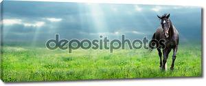 Запуск warmblooded черный конь на поле утром, баннер