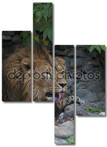 Остальная часть азиатского льва на фоне скалистых. лежа царь зверей, большой кошкой мира, облизывая лапу. наиболее опасные и могучий хищник мира. Дикая красота природы.