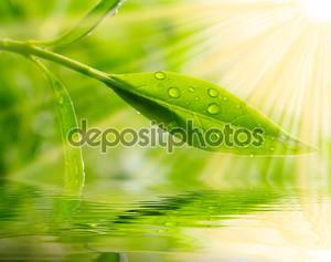 Чайное дерево (thea sinensis). листья были использованы в альтернативной медицины и других медицинских систем для лечения астмы, стенокардии, заболевания периферических сосудов и ишемической болезни сердца.