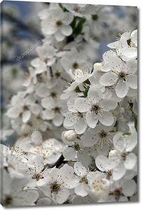Вишневое дерево в цвету весной