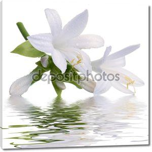 Лилия с отражением