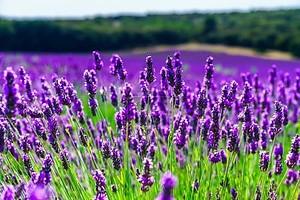 Прекрасный фиолетовый поля лаванды в Провансе