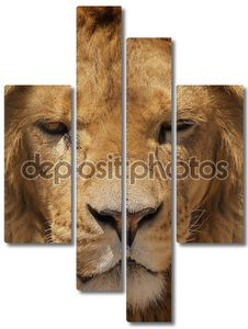 крупным планом портрет Льва.