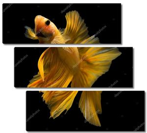 Сиамские  рыбы на черном