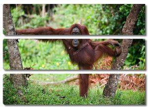 Самка орангутанга позирует