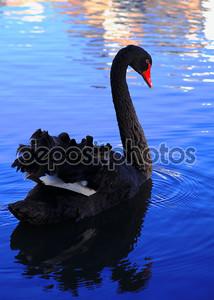 Черный лебедь на воде