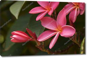 Розовая плюмерия цветы на дереве