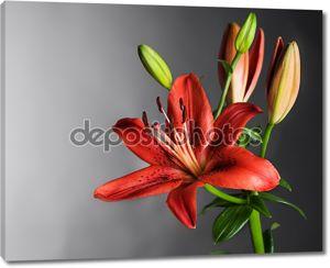 Красивый красный цветок лилии над черный
