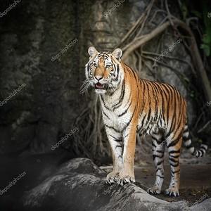 королевский бенгальский тигр