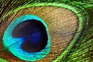 Красивый глаз пера павлина