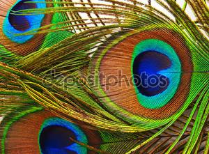 яркие перья павлина крупным планом