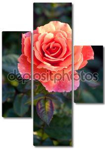 Красивый кустарниковые розы в саду.