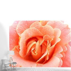 Розовая роза в каплях росы