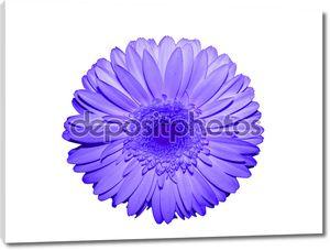 Цветок Ромашка Гербера