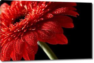 Красные герберы ромашки на черном фоне