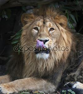 Азиатский лев с языком в его нос. площади изображения. Царь зверей, большой кошкой в мире, глядя прямо в камеру. наиболее опасные и могучий хищник мира.
