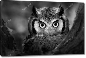 Беломордых сова