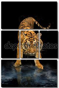 Тигр, ходьба черный фон