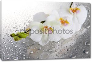 Белые красивые орхидеи с каплями