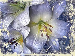 Лилии крупно