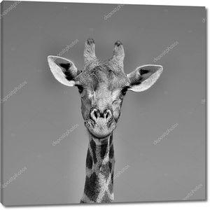 Жираф в Южной Африке лица портрет крупным планом