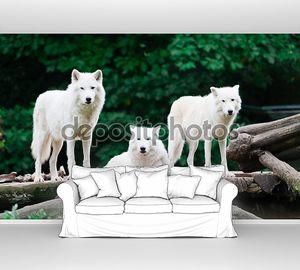 Белые волки у леса