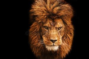 Потрясающие лицевой портрет самца льва на черном фоне