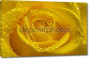 Yellow rose flower with water drops. Close-up.
