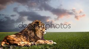 мощный Лев отдыхает на закате.