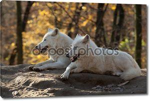 белые волки