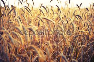 колоски пшеницы, освещенный ярким солнцем. поле пшеницы