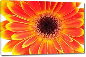 Цветок Оранжевый Гербер, изолированные на белом фоне