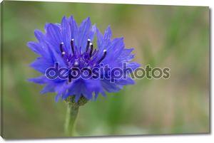 Цветок Василька в летнем саду