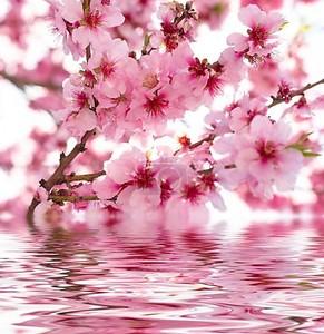 Цветы яблони над водой