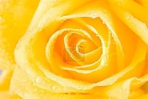 Жёлтый бутон розы