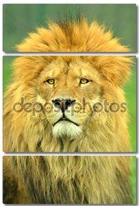 Male Lion close up portrait