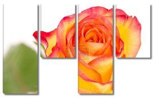 Роза макро красивый красный помеец