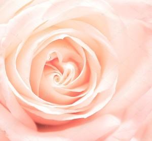 Мягкость розовая роза