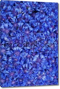Красивые весенние цветы синий Васильковый на фоне