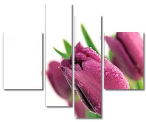 Красивый пурпурный Тюльпаны