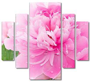 Розовые пионы цветут в саду
