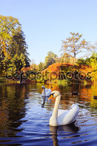 пара белых лебедей на озере