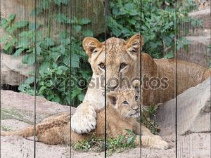 Львы, лежа на земле