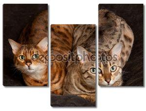 Пара Бенгальских котят