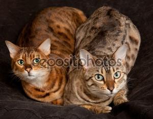 Пара Бенгальские котята на сиденье